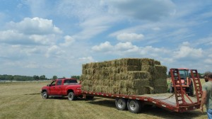 We can think of a few horses and mules that will love this hay!