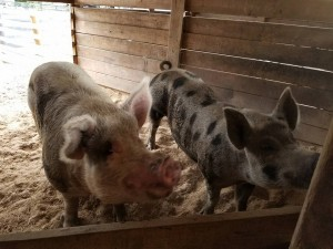 Our favorite pigs!