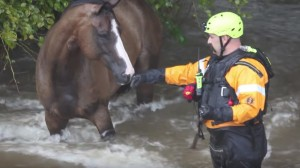 First responder rescues a horse in the rising flood waters of Houston